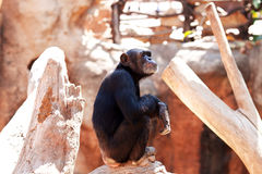 Monkeys at  zoo. Royalty Free Stock Images