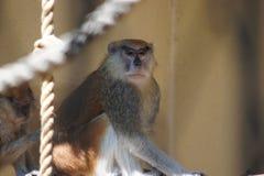 Monkeys. In zoo. Chorzow, Poland Royalty Free Stock Photo