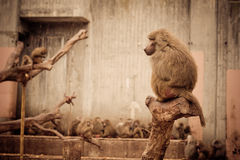 Monkeys - Zoo Madrid Stock Photos