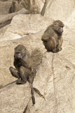 Monkeys in the zoo Royalty Free Stock Image