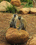 Monkeys in the zoo of Melbourne Royalty Free Stock Images