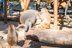 Monkeys in a zoo. Monkeys group in a zoo having fun together Royalty Free Stock Photography