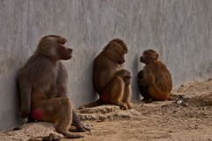 3 monkeys in zoo park. 3 monkeys making different reactions in a zoo park day shot outdoor Royalty Free Stock Photos