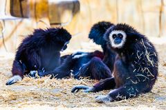 Monkeys in zoo Royalty Free Stock Image
