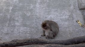 Monkeys in the zoo. Warm summer day stock video footage