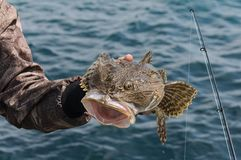 Monkfish in the sea stock photography