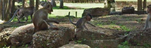 Monkies Камбоджи Стоковое Изображение RF