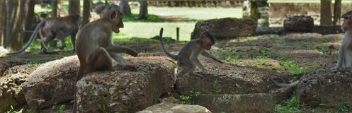 Monkies de Camboja Imagem de Stock Royalty Free