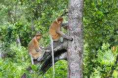 Monkies del Proboscis Fotografia Stock