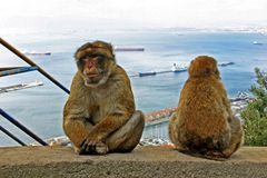 Monkies on a wall. High over Gibraltar harbour Stock Image