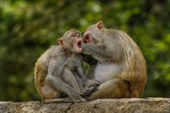 The Indian Monkey royalty free stock images