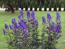 Monkshood λουλούδια Στοκ Εικόνα