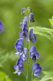 monkshood Arkivfoton