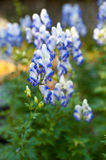 Monkshood (Aconitum autumnale) Royalty Free Stock Image