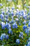 Monkshood (Aconitum autumnale) Royalty Free Stock Images