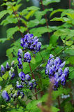 Monkshood Aconitum autumnale blue and white flowers closeup Stock Photo