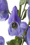 Monkshood,   Aconitum napellus, Royalty Free Stock Photography