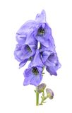 Monkshood Royalty Free Stock Photos