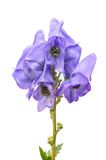 Monkshood Royalty Free Stock Photo