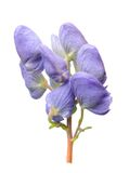 Monkshood Royalty Free Stock Photography