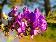Monkshood roxo violeta da flor do acônito no close up do por do sol fotos de stock royalty free