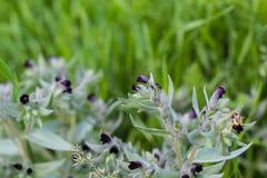 Monkswort púrpura oscuro de polinización importante del nonea del bombylius grande de la abeja-mosca, flor del rossica del nonea Foto de archivo libre de regalías