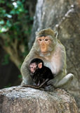 Monky mom with baby Royalty Free Stock Images