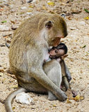 Monky mom with baby Stock Photos