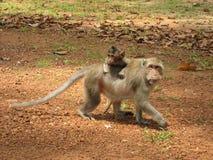 Monkey Mom Cambodia. Monkey and his cub in Angkor Wat Royalty Free Stock Photography