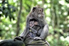 Monkywithcub Royalty Free Stock Image
