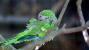 Monnik Parakeet Cleaning Itself stock videobeelden