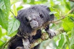 Monnik Saki Monkey stock afbeeldingen