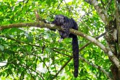 Monnik Saki Monkey en Staart stock afbeelding