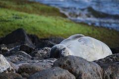 Monnik Seal Royalty-vrije Stock Afbeeldingen