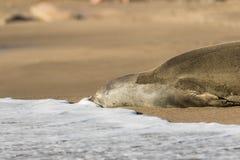 Monnik Seal Resting stock afbeelding
