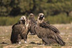Monniksgier, Eurazjatycki Czarny sęp, Aegypius monachus zdjęcie stock