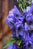 Monnikskap, Aconitum-carmichaelii Royalty-vrije Stock Afbeeldingen