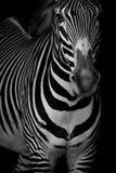 Mono конец-вверх головы зебры Grevy поднимаясь Стоковое Фото