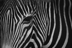 Mono конец-вверх головы зебры Grevy Стоковая Фотография
