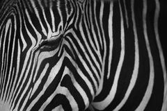 Mono конец-вверх глаза заключения зебры Grevy Стоковые Фото