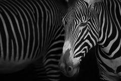 Mono конец-вверх глаз заключения зебры Grevy Стоковое Изображение
