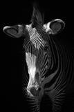 Mono конец-вверх зебры Grevy в темноте Стоковая Фотография