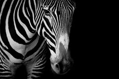 Mono конец-вверх зебры Grevy в темноте Стоковое Изображение RF