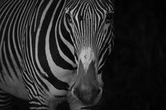 Mono конец-вверх зебры Grevy в черноте Стоковое Изображение RF