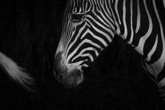 Mono конец-вверх зебры Grevy за кабелем Стоковые Фотографии RF