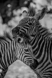 Mono конец-вверх зебры Grevy нюхая другие Стоковые Изображения RF