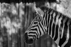 Mono конец-вверх зебры Grevy около загородки Стоковые Фотографии RF