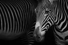 Mono конец-вверх зебры Grevy около других Стоковые Фото