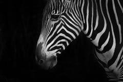 Mono конец-вверх зебры Grevy смотря вниз Стоковые Фото