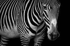 Mono конец-вверх зебры Grevy смотря камеру Стоковое Изображение